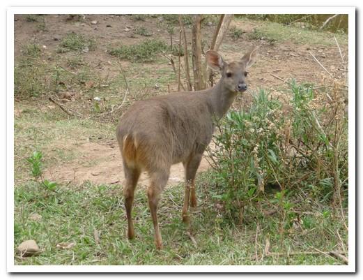 A native deer