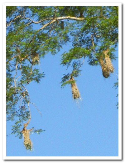 Hanging nests of the Oropendola birds