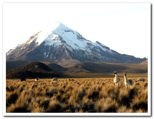 Llamas grazing at the foot of Sajama Volcano