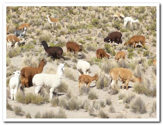 Multi-coloured Alpaca herd