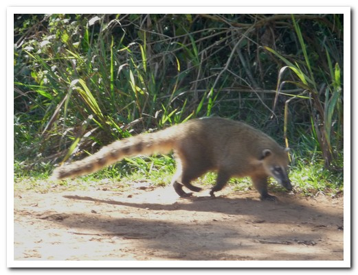 Coatis are everywhere