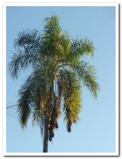 Bird´s nests hang from the palm tree