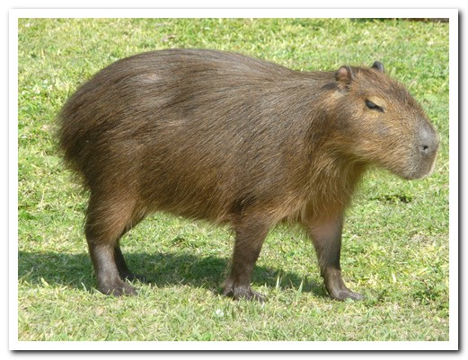 The capybara, at 75 kgs, is the world´s largest rodent