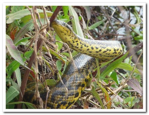 Beautiful anaconda