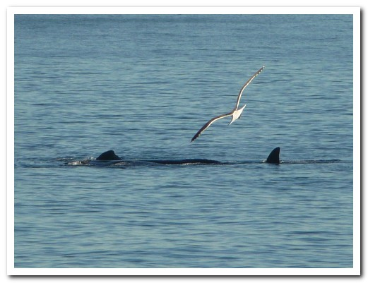 Seagulls land on their backs; the whales hate it