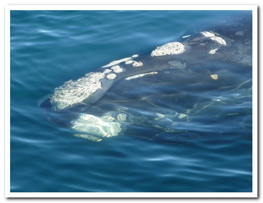 Whale surfacing in the clear water