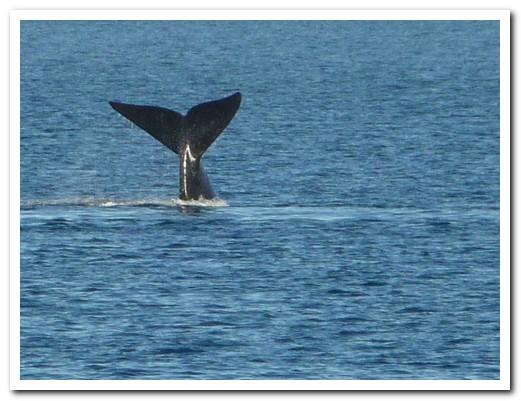 Whale makes a dive