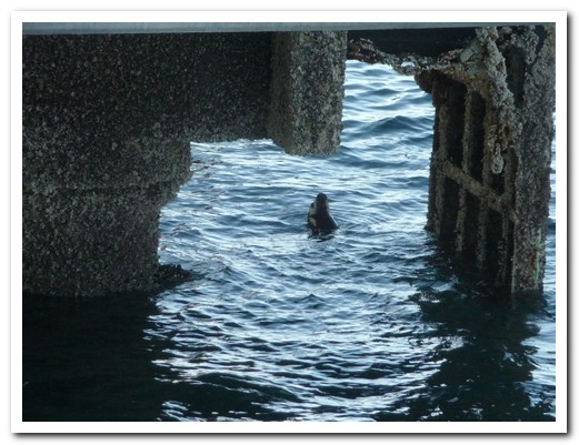 Seal playing under the jetty